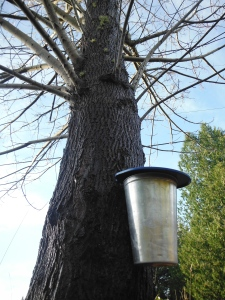 All the Vancouver Island 'sapsuckers' (aka maple sap collectors) are reporting litre per day yields this week. Let's see what the weed patch is capable of this year!