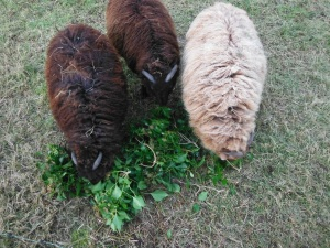 The three 'boys' do a great job recycling our English ivy shearings into fertilizer.Before the ivy goes to seed and creates havoc elsewhere, we cut it back and feed it to the sheep who love the fresh greens in December.