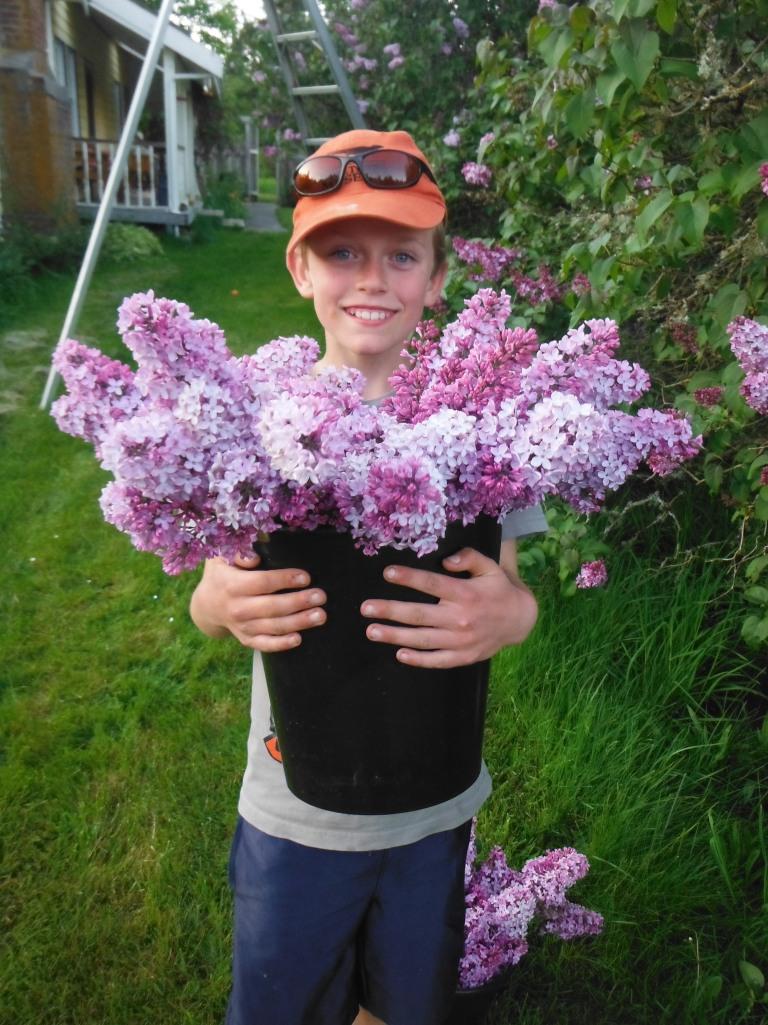 harvesting lilacs